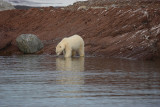 Polar Bear going in OZ9W1392