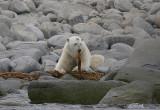 Polar Bear male eating seaweed OZ9W8860