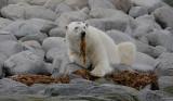 Polar Bear male eating seaweed