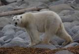 Polar Bear male hungry OZ9W8909