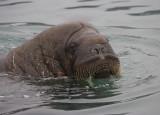 Walrus male in water OZ9W6936