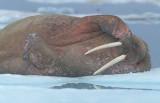 Walrus male on ice floe 6