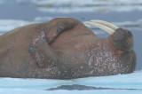 Walrus male on ice floe 5