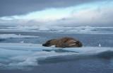 Walrus male on ice floe