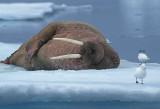 Walrus male on ice floe 3