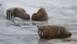 Walrus male female and young OZ9W3290