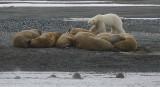 Walrus haulout with Polar Bear Z9W5829