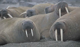 Walrus haulout immatures 2