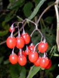 Woodland Jewel