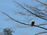 Img_2887 bald eagle.