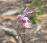 IMG_3692 Calypso orchid