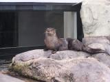 I Otter Be Swimming