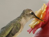 Thirsty Hummer