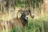 Bighorn sheep?