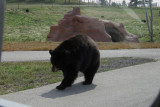 Bear on the loose.