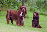 Our Field Spaniels. Bradley 2002-2007 and Trefor 1999-2008