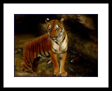Fort Worth Zoo tiger.jpg
