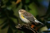 Yellow-Rumped Warbler Dendroica Coronata