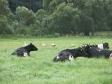 Krowy i bociany(IMG_4857.jpg)