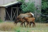 Roosevelt Elk Family