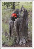 Indian Paintbrush in a Dead Tree Stump