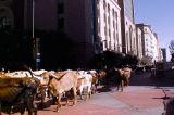 The Texas Stampede had their Annual Longhorn Cattle Drive Through Down Town Dallas, Texas Nov 8, 2006