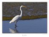 White Heron (Kotuku)