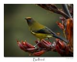 Bell Bird (Korimako)