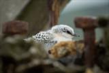 White Fronted Tern Chick (Tara)