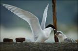 White Fronted Tern (Tara) feeding chick