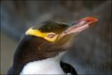 Hoiho The Yellow-eyed Penguin