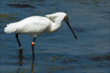 Royal Spoonbill in breeding colours