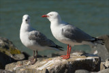 Red billed Gull and young. (Tarapunga)