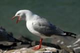 Red billed Gull (Tarapunga) warning off an intruder.