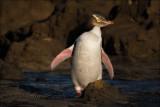 Yellow-eyed Penguin (Hoiho)