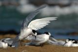 White Fronted Terns (Tara)