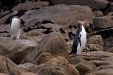 Yellow-eyed Penguins (Hoiho)