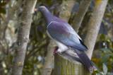 Kereru, the New Zealand Woodpigeon