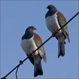 Kereru. New Zealand native wood pigeon