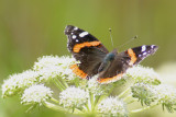 032  RED ADMIRAL BUTTERFLY