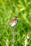 006  SAVANNAH SPARROW