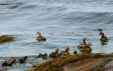 009  COMMON EIDERS