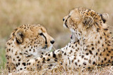 Friends (Cheetahs Playing)