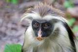 Red Colubus Monkey Portrait