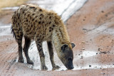 Evening Drink (Spotted Hyena)