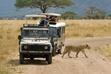 Freedom (Lion and Safari Cars)