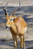It Tastes Good (Impala Antelope)