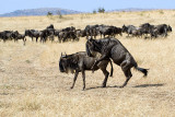 Demo II (Wildebeest, Gnu Antelopes Mating)
