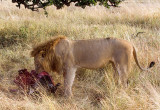Early Breakfast (Lion Eating Buffalo)
