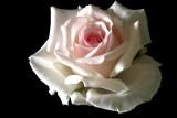 Rose 'Ophelia'